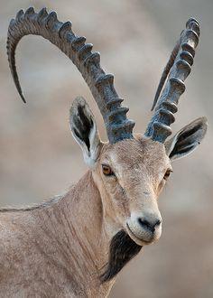 ˚Nubian Ibex