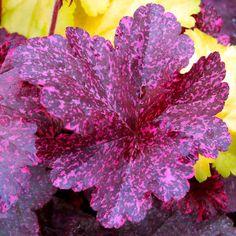 Heuchera Plant - Midnight Rose