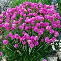 Armeria maritima 'Splendens' Live Pink Sea Thrift Plants Full Sun Perennial Flowers Attract Butterflies Attractive Grassy Mound of Foliage! Pink Perennials, Full Sun Perennials, Herbaceous Perennials, Full Sun Perennial Flowers, Planting Flowers, Garden Express, Plantar, Live Plants, Green Plants