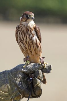 merlin bird of prey | Hawkwalk - Birds of Prey GalleryHawkwalk