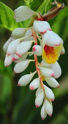Shell ginger flowers - Google Search