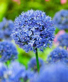 Koop nu Allium Mix 'Fantasia' bloembollen bij | Bakker.com