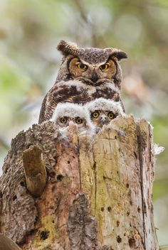 http://lookatthisbabybird.tumblr.com/post/53427139462/wildography-great-horned-owl-family-portrait