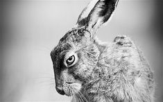 A photograph of a pensive looking hare has been named UK wildlife photograph   of the year.