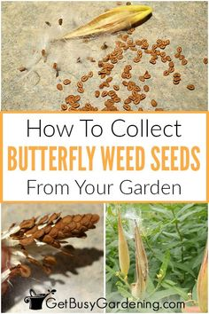 Do you want to attract butterflies to your garden every year? Rather than spend lots of money at the garden center, collect the seeds from your butterfly weed plants! I will guide you through when and how to gather the delicate seed pods from these colorful flowers without losing all the seed to the wind. Learn how to dry and store the butterfly weed seeds with these handy suggestions for containers that will keep them safe until next spring. Growing Seeds, Growing Plants, Butterfly Weed, Butterflies, Weed Plants, Weed Seeds, Lots Of Money, Seed Pods, Garden Seeds