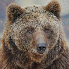 Os, oso, bear