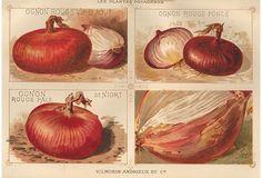 French Onion Lithograph, 1925 on OneKingsLane.com
