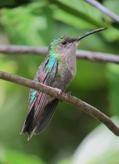 Chalybura urochrysia / Colibrí colibronceado / Bronze-tailed Plumeleteer