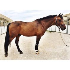 He is domino or dino he's a 9yo flashy jumper. We rescued him from an auction his owner was bad treating him he's such a professional ! I can't believe how they treated him . Flashy with pros and slow and gentle with kids.