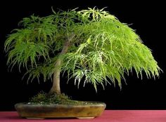 Details about Lace Leaf Japanese Maple Acer palmatum dissectum Tree Seed (Fall Color Bonsai Bonsai Tree Price, Buy Bonsai Tree, Japanese Bonsai Tree, Bonsai Trees For Sale, Bonsai Tree Care, Bonsai Tree Types, Tree Sale, Indoor Bonsai Tree, Bonsai Acer