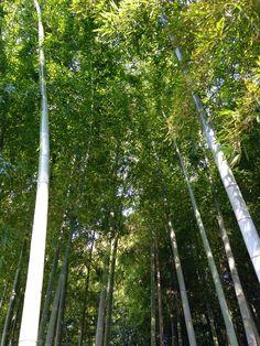 bamboo grove of Tokyo