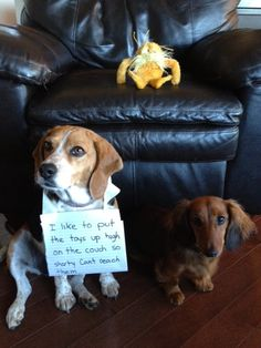 Daisy the Beagle doesn't like to share her toys with Lily the new Dachshund puppy. Love My Dog, Funny Animal Pictures, Funny Animals, Cute Animals, Animals Dog, Dog Pictures, Funny Photos, Cute Puppies, Cute Dogs