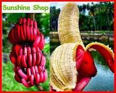 200 x Red Banana Seeds. Features: Fruit Seeds, Easy to Plant, Garden Decor. Red bananas, are a variety of banana with reddish-purple skin. They are smaller and plumper than the common Cavendish banana. Wonderful Flowers, Rare Flowers, Exotic Flowers, Banana Seeds, Mini Bananas, Fruit Seeds, Home Garden Plants, Garden Farm, Fruit Garden