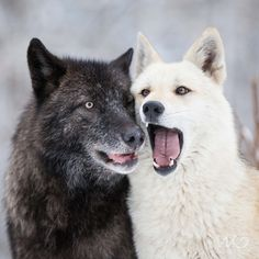 Cute Little Puppies, Cute Puppies, Of Wolf And Man, Animals Beautiful, Cute Animals, Magic Fox, Fantasy Wolf, Howl At The Moon, Rare Animals