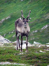 Reindeer via Julie Armstrong P