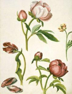 From Alexander Marshall's Florilegium, 17th c.