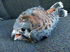 This is what a baby hawk looks like!