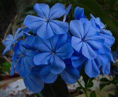 https://flic.kr/p/bRuBx | Plumbago - 2006 | Here's the New Plumbagos that we've potted for some of the blue colors in out front yard. Each of these flowers are about the size of a quarter.   Scientific name: Plumbago auriculata Pronunciation: plum-BAY-go ah-rick-yoo-LAY-tuh Common name(s): Plumbago, Cape Plumbago, Sky Flower, Cape leadwort Family: Plumbaginaceae Plant type: shrub Origin: South-Africa