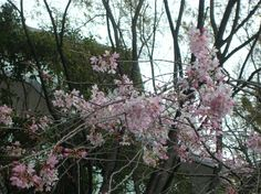 枝垂桜 ( cherry blossoms)