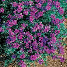 The most beautiful way to prevent soil erosion, color a sunny strip of ground, or adorn a container of any kind!  Moss Verbena is renowned for dense, fast, drought- and heat-tolerant coverage, and this award-winning variety is even more colorful and long-blooming than most!Imagination offers brilliant 2-inch clusters of violet-blue above dense, lacy foliage.  The plant reaches 12 to 20 inches high and spreads up to 2 feet wide, so tenacious that it can actually keep a slope from sliding away…