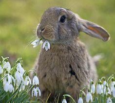 Dem schmeckt's: Ein Kaninchen knabbert Schneeglöckchen   | Foto: dpa