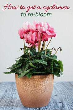 """Pink cyclamen in a pot with text reading """"How to get a cyclamen to re-bloom."""" One of the prettiest holiday plants is a cyclamen - cyclamen persicum, also known as the florist cyclamen. Like some other holiday plants, getting a cyclamen to rebloom after the first year can a tricky task. Click through to get tips to learn how to get a cyclamen plant to re-bloom. #cyclamen #gardening #gardentips #indoorplants #holidayplants Cold Frame, Garden Quotes, Shade Trees, Garden Projects, Garden Ideas, Spring Is Here, Plant Needs, Autumn Day, Flowering Trees"""
