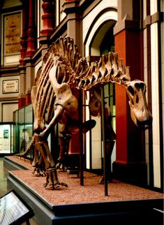 Dicreosaurus hansemanni, Museum für Naturkunde, Berlin. Dinosauria, Saurischia, Sauropodomorpha, Sauropoda, Neosauropoda, Diplodocoidea, Flagellicaudata, Dicraeosauridae. Auteur : Eduard Solà Vázquez, 1999.