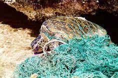 Turtle entangled in marine debris (ghost net) - Desechos marinos - Wikipedia, la enciclopedia libre