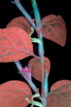 Craig Burrows photographs plants and flowers using a type of photography called UVIVF or ultraviolet-induced visible fluorescence.