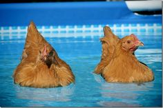 Swimming chickens!  Really?