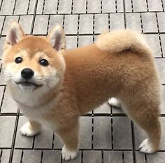 Shiba Inu = Little fluff ball 💙🐕💙 Animals And Pets, Baby Animals, Funny Animals, Cute Animals, Chien Shiba Inu, Cute Puppies, Dogs And Puppies, Pet Dogs, Dog Cat