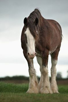 Beautiful heavy horse Clydesdale                                                                                                                                                      More