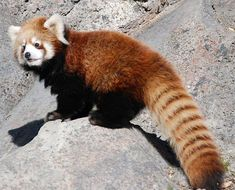 I see your baby beaver. I raise you a baby red panda https://ift.tt/2vcu1Fx cute puppies cats animals
