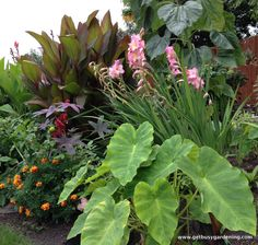 Tropical Garden-in Minnesota-my favorite topical plants: •Elephant ears •Peacock orchid •Cannas 'Madame Butterfly', mix, Bengal tiger, Tropicana, indica •Peruvian Daffodil •Calla lillies •Caladium Illustris •Gladiola mix •Alocasia odora (EE) •Dahlia 'Le Baron' •Calla Zantedeschia species •Dahlia mix  Red Spider lily •Calla aethiopica •Crinum light pink •Voodoo lily •Dahlia 'Rigoletto' •Crocosmia orange •Watsonia •Dahlia 'New Dimension' •Gladiola 'Tiny Tot'