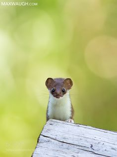 Short-Tailed Weasel by MaxWaugh #animals #animal #pet #pets #animales #animallovers #photooftheday #amazing #picoftheday