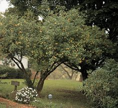 Citrus - Hardy Trifoliate Orange. I finally know what this tree in my yard is! Marmalade recipe here!