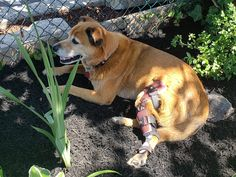 """We love hearing from our pet families! Go, Buster!  Bester's family said, """"My 10 year old boy tore his CCL. I went for the brace vs the surgery. This place is great. I drove 2 hours to get my boy here and it was worth the trip. The people here really know what they are doing and are really nice. I would suggest to anyone considering surgery to try this first. It's only been 3 weeks and I'm seeing improvement. Thank you Amy for taking such good care of Buster."""" Acl Brace, 10 Year Old Boy, Old Boys, 3 Weeks, Braces, Really Cool Stuff, Surgery, Families, Amy"""