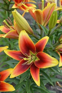 Lime throat, mahogany bronzy orange to apricot and yellow Exotic Flowers, Tropical Flowers, Amazing Flowers, Beautiful Flowers, Perennial Bulbs, Different Types Of Flowers, Calla, Oriental Lily, Asiatic Lilies