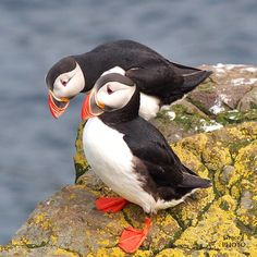 PUFFIN FACT #2.	Puffins mate for life. The courtship rituals begin as the puffins reach 3 - 4 years of age. These two are just getting acquainted.