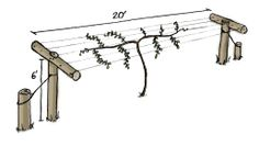 Simple stand on either side and string the lights between them Trees And Shrubs, Trees To Plant, Hardy Kiwi, Kiwi Vine, Forest Garden, Vegetable Garden Design, Permaculture, Garden Planning, Trellis