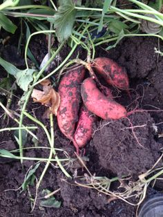 Growing Beauregard sweet potatoes