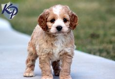 Chase – Cockapoo Puppies for Sale in PA | Keystone Puppies