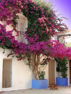 Bougainvillea on a house, Calle San José, Ibiza, Spain