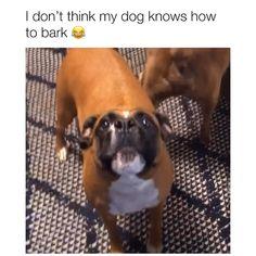 Video by TikTok/paraprincess 🎥 Funny Animal Jokes, Funny Dog Memes, Funny Dog Videos, Boxer Memes, Cute Funny Dogs, Cute Funny Animals, Funny Boxer Dogs, Cute Animal Videos, Cute Animal Pictures