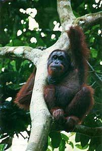 Sepilok Orangutan Sanctuary - BORNEO