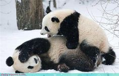 There's only one word for it when this young Cub got sight of his first ever snow - panda-monium. Giant Panda Cub Fu Long was clearly delighted to be frolicking with his proud Mum at Vienna's Schoenbrunn Zoo as heavy snow covered the whole of Europe Baby Animals Pictures, Cute Baby Animals, Animals And Pets, Funny Animals, Wild Animals, Panda Love, Cute Panda, Pandas Baby, Giant Pandas