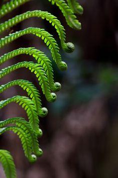 Volcano Ferns by Emily Miller Kauai Green Trees, Green Leaves, Trees To Plant, Plant Leaves, Emily Miller, Ferns Garden, Magic Garden, Agaves, Tropical Plants