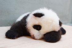 PANDA BABY!(from Chinese Taipei)