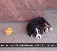 Bernese mountain dog puppy and her ball
