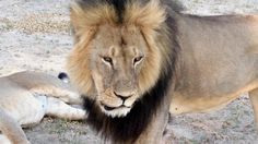 Cecil the lion: conservationists call for protection for wild animals – video
